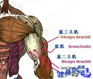 上臂肌群图示:肱二头肌、肱三头肌、肱肌部位图解说明