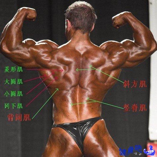 前臂肌群图解:前臂肌群肌肉图示及英文名称介绍