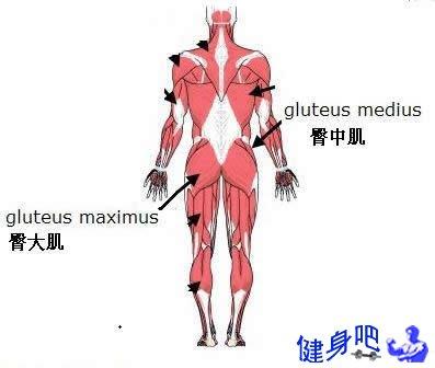 臀部肌群图解:臀部肌肉图示及英文名称介绍