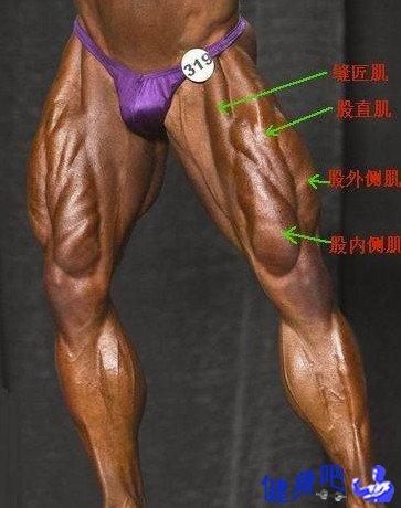 腿部肌群图解:腿部肌肉图示及英文名称介绍
