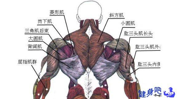 背部肌群图解:背部肌肉图示及英文名称介绍