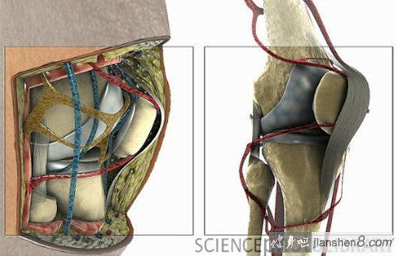 膝关节3D结构解剖图,带你去看你的膝盖深处