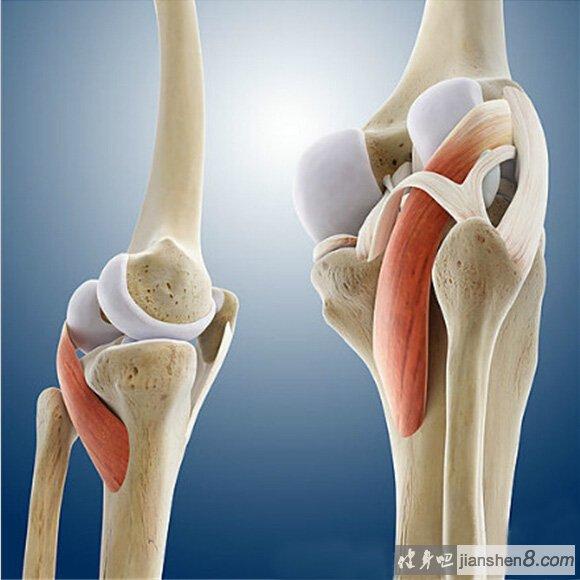 膝关节3D结构解剖图,带你去看你的膝盖深处 3