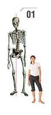 脚跟骨_如何避免骨盆歪斜?骨盆歪斜怎么预防?_健身吧