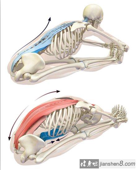 竖脊肌_健身知识:竖脊肌的功能与拉伸_健身吧